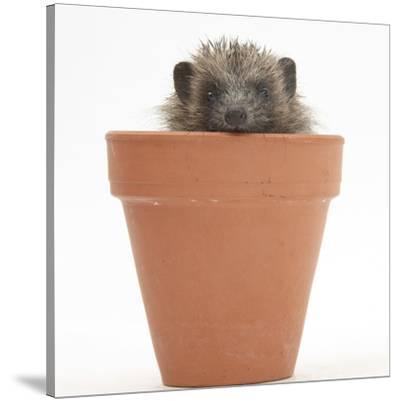 Baby Hedgehog (Erinaceus Europaeus) in a Flowerpot by Mark Taylor