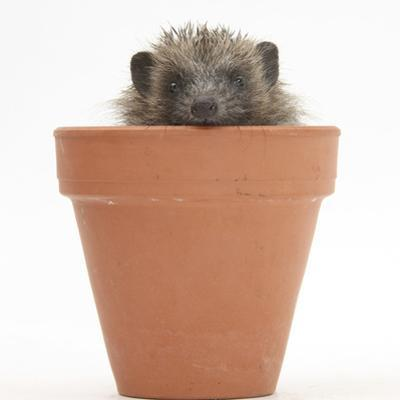 Baby Hedgehog (Erinaceus Europaeus) in a Flowerpot by Mark Taylor