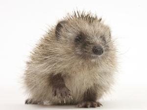 Baby Hedgehog (Erinaceus Europaeus) Portrait, Holding One Paw Aloft by Mark Taylor