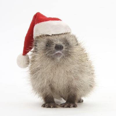 Baby Hedgehog (Erinaceus Europaeus) Wearing a Father Christmas Hat by Mark Taylor