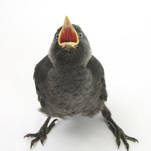 Baby Jackdaw (Corvus Monedula) Gaping to Be Fed by Mark Taylor
