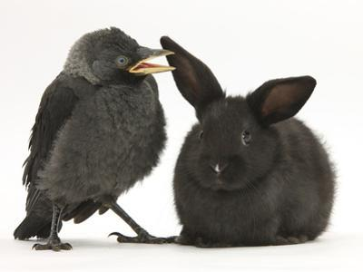 Baby Jackdaw (Corvus Monedula) with a Baby Black Rabbit by Mark Taylor