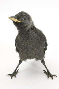 Baby Jackdaw (Corvus Monedula) with Feet Wide Apart by Mark Taylor