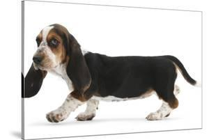 Basset Hound Puppy, Betty, 9 Weeks, Walking Across by Mark Taylor