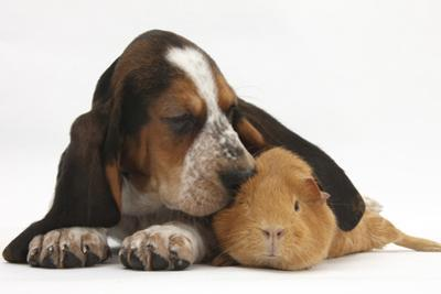 Basset Hound Puppy, Betty, 9 Weeks, with Ear over a Red Guinea Pig by Mark Taylor