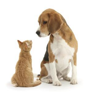 Beagle Dog, Bruce, with Ginger Kitten, Tom by Mark Taylor