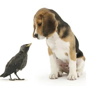 Beagle Puppy with Fledgling Jackdaw (Corvus Monedula) by Mark Taylor