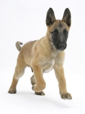 Belgian Shepherd Dog Puppy, Antar, 10 Weeks, Trotting Forward by Mark Taylor