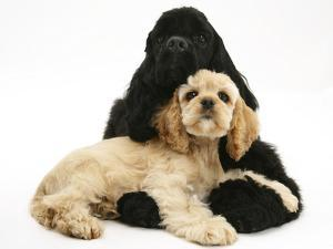 Black American Cocker Spaniel, with Buff American Cocker Spaniel Puppy, Resting Together by Mark Taylor