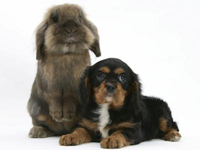 Black-And-Tan Cavalier King Charles Spaniel Puppy and Lionhead Rabbit by Mark Taylor