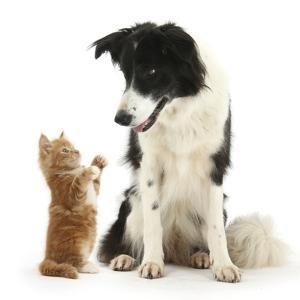 Black-And-White Border Collie Looking at Ginger Kitten by Mark Taylor
