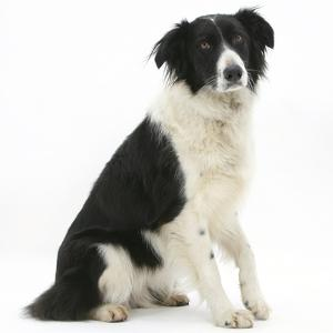 Black-And-White Border Collie, Phoebe, Raising Her Lame Paw by Mark Taylor