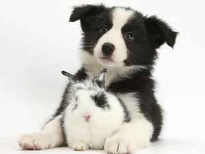 Black and White Border Collie Puppy and Baby Bunny by Mark Taylor
