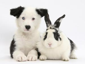 Black and White Border Collie Puppy and Black and White Rabbit by Mark Taylor