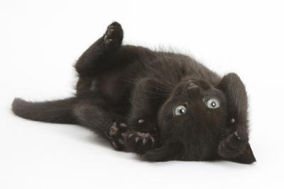 Black Kitten, 7 Weeks, Rolling on its Back by Mark Taylor