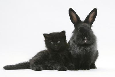 Black Kitten with Black Lionhead-Cross Rabbit by Mark Taylor