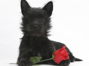 Black Terrier-Cross Puppy, Maisy, 3 Months, with a Red Rose by Mark Taylor