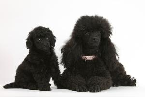 Black Toy Poodle Bitch and Puppy, 7 Weeks by Mark Taylor