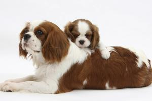 Blenheim Cavalier King Charles Spaniel Mother and Puppy by Mark Taylor