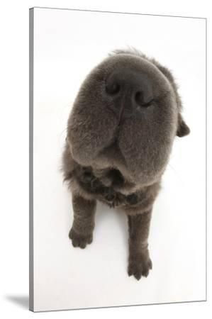 Blue Bearcoat Shar Pei Puppy Nose, 13 Weeks by Mark Taylor