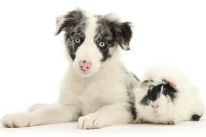 Blue Merle Border Collie Puppy, 9 Weeks, with Black and White Guinea Pig by Mark Taylor