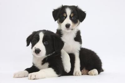 Border Collie Puppies Playing by Mark Taylor