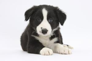 Border Collie Puppy by Mark Taylor