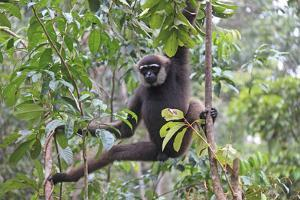 Bornean White-Bearded or Agile Gibbon, (Hylobates Albibarbis) in Tree, South West Borneo by Mark Taylor