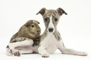 Brindle-And-White Whippet Puppy, 9 Weeks, with a Guinea Pig by Mark Taylor