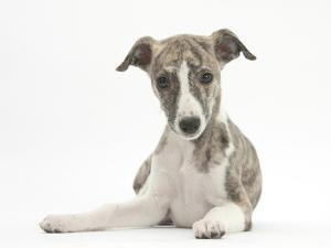 Brindle-And-White Whippet Puppy, 9 Weeks by Mark Taylor