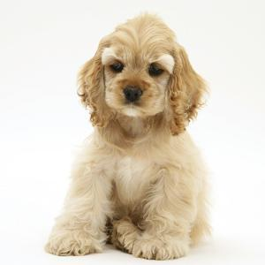Buff American Cocker Spaniel Pup, China, 10 Weeks, Sitting by Mark Taylor