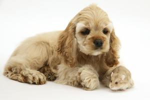 Buff American Cocker Spaniel Puppy, China, 10 Weeks, with a Dwarf Russian Hamster by Mark Taylor