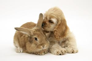 Buff American Cocker Spaniel Puppy, China, 10 Weeks, with Sandy Lionhead-Cross Rabbit by Mark Taylor