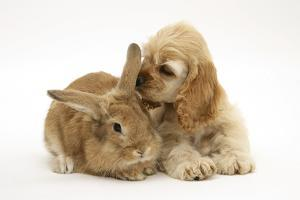 Buff American Cocker Spaniel Puppy, China, 10 Weeks, with Sandy Lionhead-Cross Rabbit by Mark Taylor