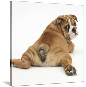 Bulldog Puppy, 11 Weeks, Rear View Sprawled Out and Looking Round by Mark Taylor