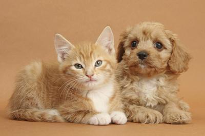 Cavapoo Puppy and Ginger Kitten