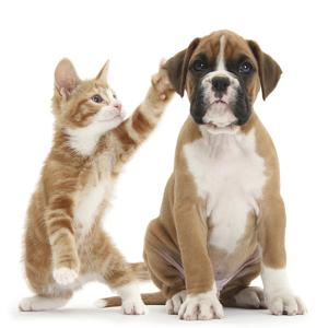 Cheeky Ginger Kitten, Ollie, 10 Weeks, Reaching Up and Batting the Ear of Boxer Puppy by Mark Taylor