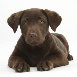 Chocolate Labrador Puppy, 3 Months, Lying by Mark Taylor