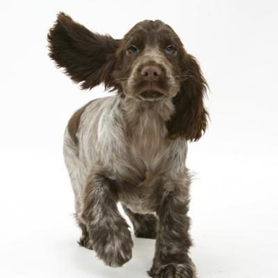 Chocolate Roan Cocker Spaniel Puppy, Topaz, 12 Weeks, Running with Ears Flapping by Mark Taylor