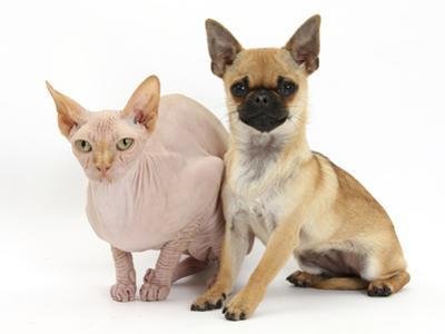 Chug (Pug Cross Chihuahua) Bitch and Sphinx Hairless Cat by Mark Taylor