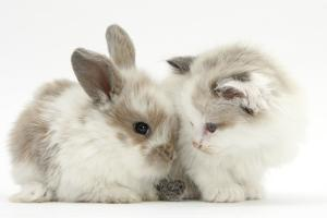 Colourpoint Kitten with Baby Rabbit by Mark Taylor