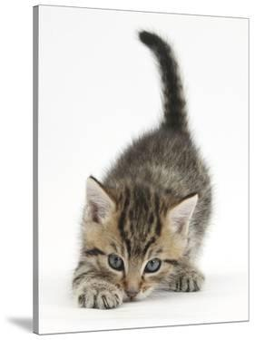 Cute Playful Tabby Kitten, Stanley, 6 Weeks Old by Mark Taylor
