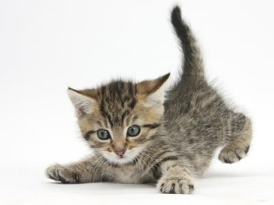 Cute Playful Tabby Kitten, Stanley, 6 Weeks Old by Mark Taylor