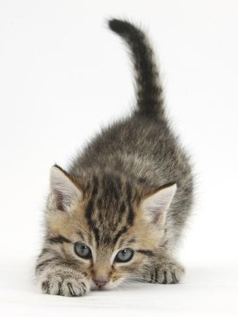 Cute Playful Tabby Kitten, Stanley, 6 Weeks Old