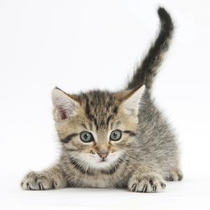 Cute Playful Tabby Kitten, Stanley, 6 Weeks by Mark Taylor