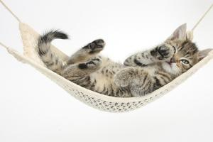 Cute Tabby Kitten, Stanley, 7 Weeks Old, Lying in a Hammock by Mark Taylor