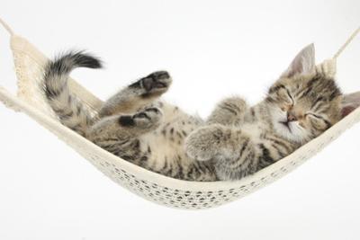 Cute Tabby Kitten, Stanley, 7 Weeks, Sleeping in a Hammock by Mark Taylor