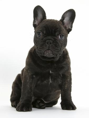 Dark Brindle French Bulldog Pup, Bacchus, 9 Weeks Old, Sitting by Mark Taylor