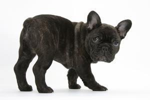 Dark Brindle French Bulldog Pup, Bacchus, 9 Weeks Old by Mark Taylor