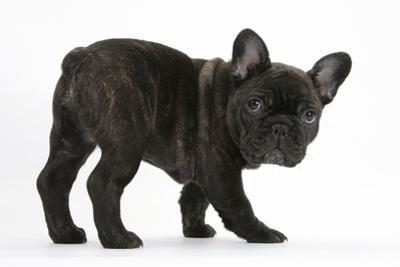 Dark Brindle French Bulldog Pup, Bacchus, 9 Weeks Old by Mark Taylor